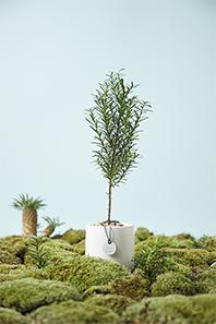 트리플래닛 숲 만드는 반려나무, 주목