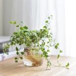 푸밀라 수경 식물 인테리어 비커