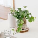 천연가습기 수경재배식물 8종