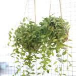 코코팟 디시디아 그린 공기정화식물
