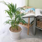 아레카 야자 중형 마블 화이트화분 공기정화식물