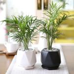 리솜 화분 테이블야자 공기정화식물