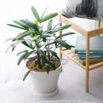 관음죽 중형 마블 화이트화분 공기정화식물