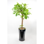 FN5720 뱅갈고무나무  높이 150~155cm