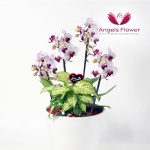 [엔젤스플라워] 미니호접_고급형 전국꽃배달 AGFYHP23PR