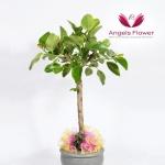 [엔젤스플라워] 뱅갈고무나무_대형 전국꽃배달 AGFYHP18PR