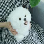 진짜같은 리얼 비숑 강아지인형 비숑프리제 동물인형