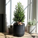 살아있는 미니크리스마스트리식물 excellent point + 무광도자기화분(블랙)