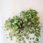 행잉바스켓 디시디아 멜론 공기정화식물