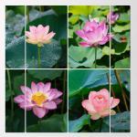 pf085-멀티액자_부귀를상징하는연꽃