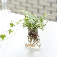 무늬아이비 수경재배 화분