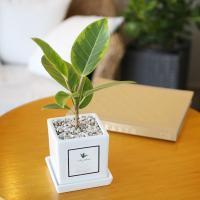 아모르 화분 뱅갈 고무나무 공기정화식물