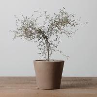마오리소포라 인테리어 식물 이태리토분 반려식물