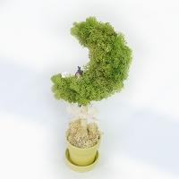 [공기정화식물] 스칸디아모스 초승달나무 J_80