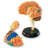 [러닝리소스] 인체해부모형-뇌 (LER3335)