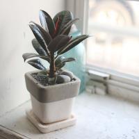 공기정화식물 고무나무 3총사 사각미니화분