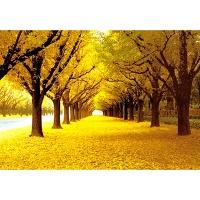 1000조각 목재 직소퍼즐▶ 황금빛 가로수 길 [WPK1000-36]