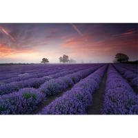 PH0547 LAVENDER FIELD Dawn (61x91)