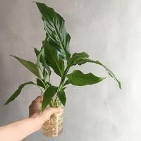 스파티필름S 수경식물 화병세트