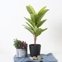 소피아 고무나무 60cm