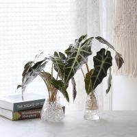 수경재배 거북 알로카시아 공기정화 수중식물