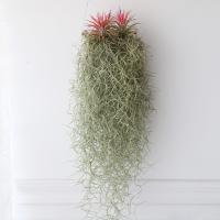 그네수염 이오난사(특대)틸란 공기정화 먼지먹는식물