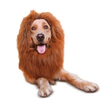 강아지 라이언 코스튬 Dog lion costume