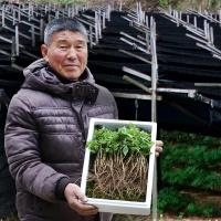 금산 2년근 자연재배 새싹삼 100뿌리