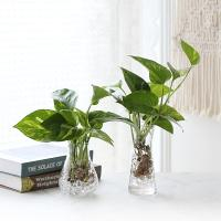 수경재배 스킨답서스 공기정화 수중식물