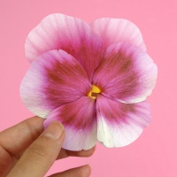 팬지 Ver.1 Pansy Flower card (4color)