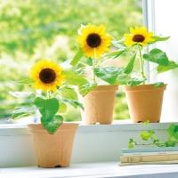 [무료배송] [Mooas]무아스 Smile Sunflower 해바라기 새싹키우기