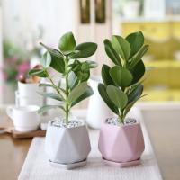 리솜 컬러화분 크루시아 공기정화식물