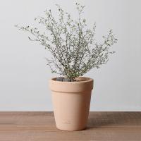 마오리코로키아 인테리어 식물 이태리토분 반려식물