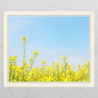cd341-유채꽃밭_창문그림액자