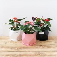 [화분픽증정] 사계절 꽃피는 안시리움 화분