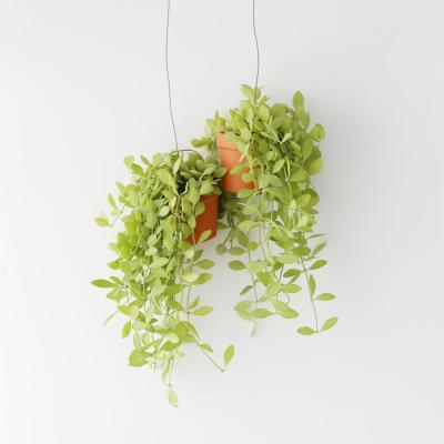행잉토분 디시디아 그린망고 공기정화 먼지먹는식물