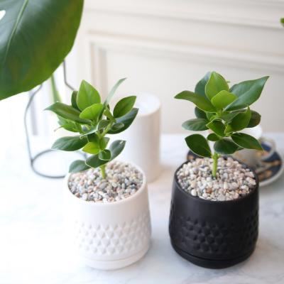 모노 화분 크루시아 공기정화식물
