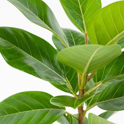 FF8106 뱅갈고무나무(소)