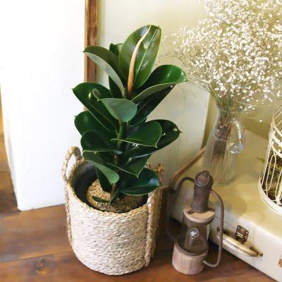 인도 고무나무 중형 라탄바구니 세트 공기정화식물