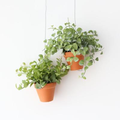 행잉토분  디시디아 그린 애플 공기정화 먼지먹는식물