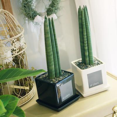 모던 화분 스투키 공기정화식물