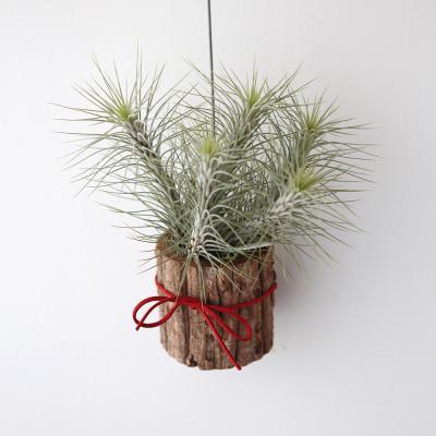 나무화분 푼키아나 공기정화 먼지먹는 식물