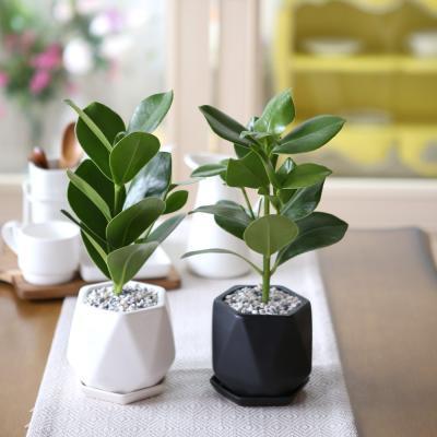 리솜 화분 크루시아 공기정화식물