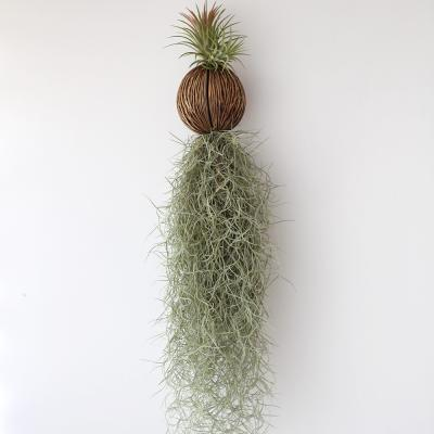 퐁퐁 수염 이오난사(대) 틸란 공기정화 먼지먹는 식물