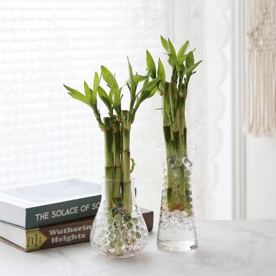 수경재배 개운죽 공기정화 수중식물
