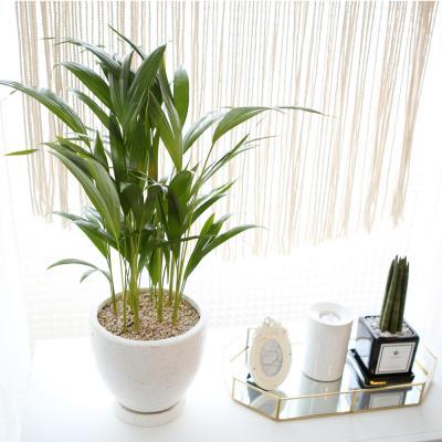 테라조 화분 아레카 야자 중형 공기정화식물