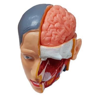 뇌모형(5단분리)