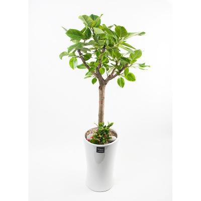 FN5719 뱅갈고무나무 높이 155~160cm
