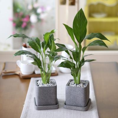 루체 화분 스파트필름 공기정화식물