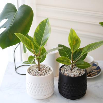 모노 화분 뱅갈 고무나무 공기정화식물